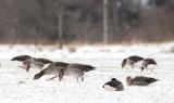 Greylag Goose / Grågås, CR6F274620-03-2013 1.jpg