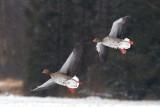 Greylag Goose / Grågås, CR6F276620-03-2013.jpg