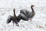Greylag Goose / Grågås, CR6F279120-03-2013.jpg
