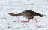Greylag Goose / Grågås, CR6F290521-03-2013.jpg