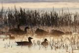 Greylag Goose / Grågås, CR6F441202-04-2013.jpg
