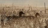 Greylag Goose / Grågås, CR6F441802-04-2013.jpg