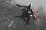 Greylag Goose / Grågås, CR6F451402-04-2013.jpg