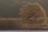 Greylag Goose / Grågås, CR6F458003-04-2013.jpg