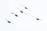 Greylag Goose / Grågås, CR6F1852 20-01-2013.jpg