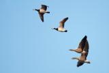 Greylag Goose / Grågås / Barnacle Goose / Bramgås , CR6F2508 11-11-2012.jpg