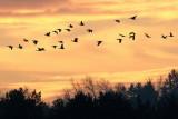Greylag Goose / Grågås, CR6F3983 01-12-2012.jpg