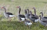Greylag Goose / Grågås, CR6F410712-06-2011.jpg