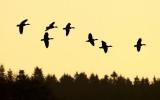 Greylag Goose / Grågås, CR6F6927 30-01-2012.jpg