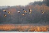 Greylag Goose / Grågås, CR6F813512-12-2012.jpg