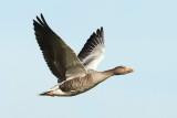 Greylag Goose / Grågås, CR6F843323-09-2011.jpg