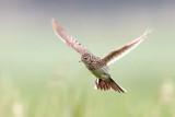 Eurasian Skylark / Sanglærke CR6F131720-06-2013.jpg