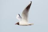 Black-headed Gull / Hættemåge, CR6F190520-06-2013.jpg
