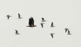 White-tailed Eagle / Havørn, CR6F5725, 16-10-2013.jpg
