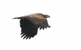 White-tailed Eagle / Havørn, CR6F5839, 16-10-2013.jpg