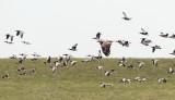 White-tailed Eagle / Havørn, CR6F5945, 16-10-2013.jpg