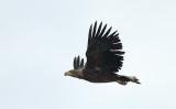White-tailed Eagle / Havørn, CR6F6202, 17-10-2013.jpg