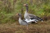 Grey Lag Goose / Grågås, CR6F5678, 16-10-2013.jpg