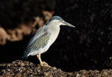 Striated Heron / Mangrovehejre, CR6F6570, 24-12-2013.jpg
