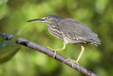 Striated Heron / Mangrovehejre, CR6F9336, 25-01-2014.jpg