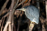Striated Heron / Mangrovehejre, CR6F9369, 25-01-2014.jpg