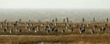 Eurasian Curlew / Stor regnspove, CR6F4250, 07-03-2014.jpg