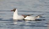 Common Black-headed Gull / Hættemåge, 0V4E4574, 20-03-2014.jpg