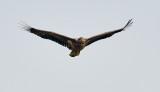 White-tailed Eagle / Havørn, 03-10-15, CR6F0927.jpg