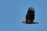White-tailed Eagle / Havørn, 03-10-15, CR6F0948.jpg