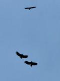White-tailed Eagle / Havørn, 03-10-15, CR6F1202.jpg