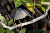 Striated Heron / Mangrovehejre, CR6F4159.jpg