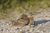 Eurasian Skylark / Sanglærke, 13-05-16, CR6F1860.jpg
