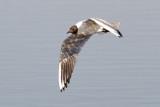 Common Black-headed Gull / Hættemåge, 27-05-16, CR6F2132.jpg