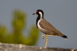 Red-wattled Lapwing / Indisk Vibe, CR6F4612, 20-11-16.jpg