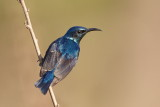 Purple Sunbird / Purpursolfugl, CR6F2459, 05-01-17.jpg