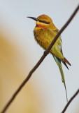 Blue-tailed Bee-eater / Blåhalet Biæder, CR6F2619, 06-01-17.jpg