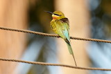 Blue-tailed Bee-eater / Blåhalet Biæder, CR6F2657, 06-01-17.jpg
