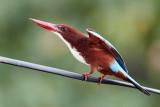 White-throated Kingfisher / Smyrnaisfugl, CR6F2499, 05-01-17.jpg