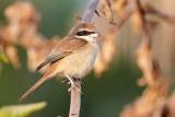 Brown Shrike / Brun Tornskade, CR6F2579, 06-01-17.jpg