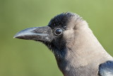 House Crow / Huskrage, CR6F3230, 07-01-17.jpg