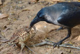 House Crow / Huskrage, CR6F2929, 06-01-17.jpg