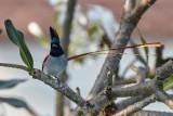 Asian Paradise Flycatcher / Asiatisk Paradismonark, CR6F3852, 09-01-17.jpg