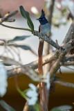 Asian Paradise Flycatcher / Asiatisk Paradismonark, CR6F3877, 09-01-17.jpg