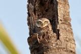 Spotted Owl /Plettet Natugle, CR6F3681, 09-01-17.jpg