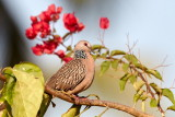 Spotted Dove / Perlehalsdue, CR6F3345, 08-01-17.jpg