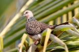 Spotted Dove / Perlehalsdue, CR6F3361, 08-01-17.jpg