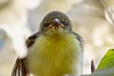 Purple-rumped Sunbird / Indisk Solfugl, CR6F4143, 10-01-17.jpg