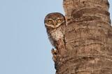Spotted Owl / Plettet Natugle, CR6F3983, 10-01-17.jpg