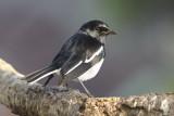 Oriental Magpie-Robin / Dayal, 12-01-17, CR6F4482.jpg