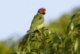 Plum-headed Parakeet / Blommehovedet Ædelparakit, 12-01-17, CR6F4593.jpg